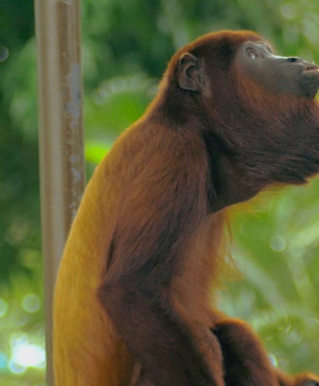 Macaco de Howler - Round of Sinu GHL Hotel Montería Montería